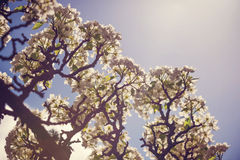 Pear tree in bloom Royalty Free Stock Image