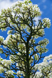 Pear tree in bloom Stock Photos