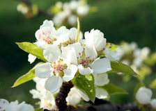 Pear tree blooming. In spring Royalty Free Stock Images