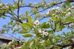 Pear tree blooming Royalty Free Stock Images
