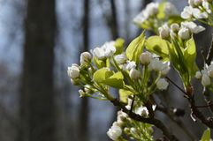 Pear tree blooming in spring stock photos