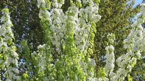 The pear tree blooms white flowers. Lush flowering gardens. stock video