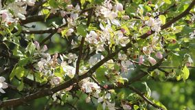 The pear tree blooms white flowers. Lush flowering gardens. stock video footage
