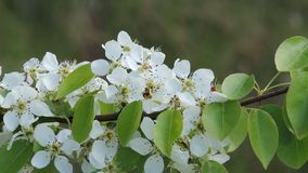 The pear tree blooms white flowers. Lush flowering gardens. stock footage