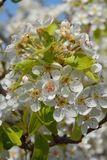 Pear tree blossom, full frame stock photos