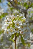 Pear tree blossom in Spring, full frame royalty free stock images