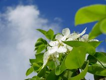 Pear tree blossom Royalty Free Stock Image