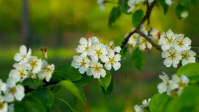 Pear-tree in blossom Stock Images