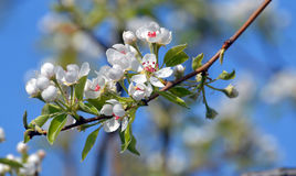 Pear tree blossom stock images