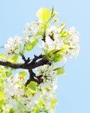 Pear tree blossom Royalty Free Stock Photo