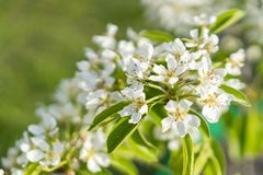 Pear tree blossom close-up. White pear flower on naturl background. Fruit tree blossom close-up. Shallow depth of field.  stock photography