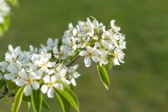 Pear tree blossom close-up. White pear flower on naturl background. Fruit tree blossom close-up. Shallow depth of field.  stock image