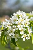 Pear tree blossom close-up. White pear flower on naturl background. Fruit tree blossom close-up. Shallow depth of field. vertical. Photo stock image