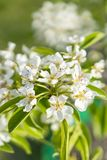 Pear tree blossom close-up. White pear flower on naturl background. Fruit tree blossom close-up. Shallow depth of field. vertical. Photo stock photos