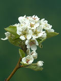 Pear tree in blossom Royalty Free Stock Images