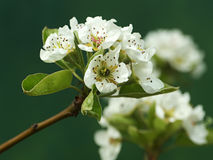 Pear tree in blossom stock image