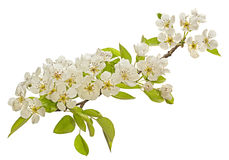 Pear tree blossom flower Royalty Free Stock Image
