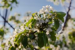 Pear tree blossom in hands. White flower on natural background stock images