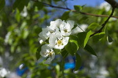 Pear-tree blossom Stock Images