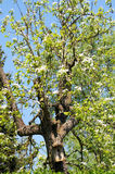 Pear tree blossom with nest box inside. springtime. Royalty Free Stock Photography