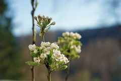 Pear tree blossom in our garden royalty free stock photo