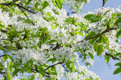 Pear tree blossom in spring Royalty Free Stock Images