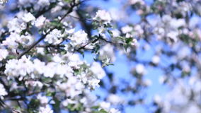 Pear tree blossoming. Blanches full of tender white flowers passing by camera with clear blue sky as background. Tracking shot stock video footage