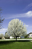 Pear tree with blossoms stock photography