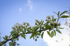 Pear tree blossoms Royalty Free Stock Photography