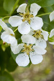 Pear tree blossoms Royalty Free Stock Images