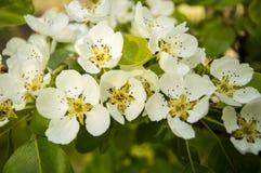 Pear tree blossoms Stock Photo