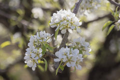 Pear Tree Blossoms In Spring Stock Photos