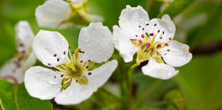 Pear tree blossoms. Stock Photos