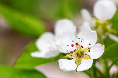 Pear tree blossoms . Royalty Free Stock Photo