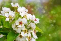 Pear tree blossoms. Royalty Free Stock Images