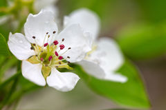 Pear tree blossoms : Stock Photo