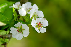 Pear tree blossoms. Royalty Free Stock Image