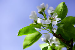 Pear tree blossoms . Stock Photography