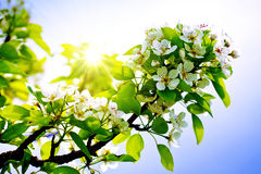 Pear tree blossoms . Stock Images