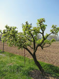 Pear tree with blossoms in a sunny day Stock Image