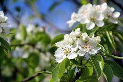 Free Pear Tree Blossoms Under The Bright Spring Sun Royalty Free Stock Photos - 187319868