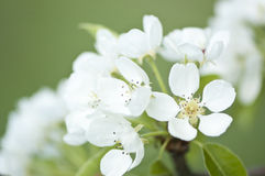 Pear tree blossoms. White blooming pear tree blossoms Royalty Free Stock Image