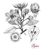 Pear tree, botanical vintage engraving Stock Photo