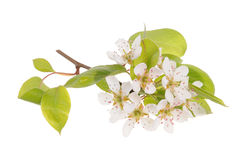 Pear tree branch in bloom Stock Image