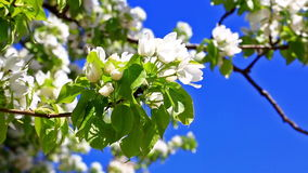 Pear tree branch with flowers against blue sky stock video footage