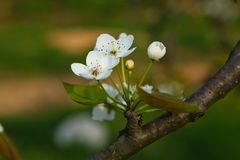 Pear tree branch. Flowers of pear, Rosaceae, pear and pear. Pear trees, deciduous trees, leaf Yuanru p.lasiocarpa, stem thick skin care, such as the umbrella royalty free stock photos