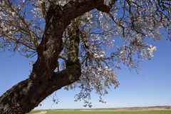 Pear tree branch Stock Photography