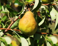Pear on tree branch Stock Images