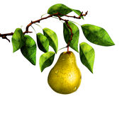 Pear on tree branch Royalty Free Stock Images