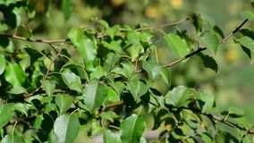 Pear tree branch with leaves on the wind in. The summer stock video footage